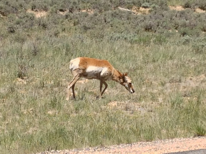 Pronghorn Antelope on the roadside