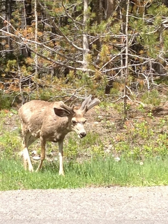 Hello little mule deer
